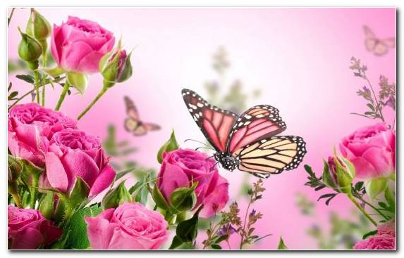 Image Pink Flowers Garden Roses Rose Rose Family Insect