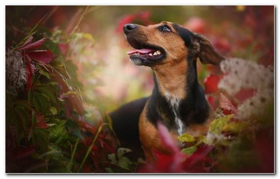 Image Pinscher The German Shepherd Labrador Retriever Border Collie Dog
