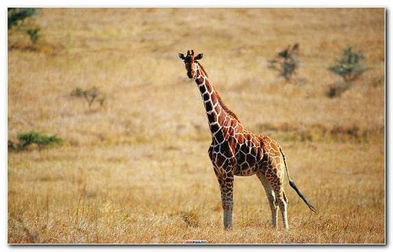 Image Plain Giraffe Grazing Lion Savanna