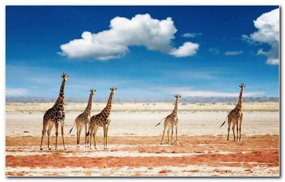 Image Plain Safari Ecosystem Giraffe Grazing