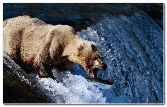 Image polar bear fishing water brown bear bear hunting