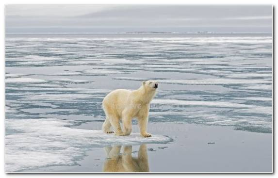 Image Polar Bear Illustration Arctic Ice Cap Ice