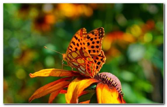 Image Pollen Invertebrate Moths And Butterflies Brush Footed Butterfly Insect