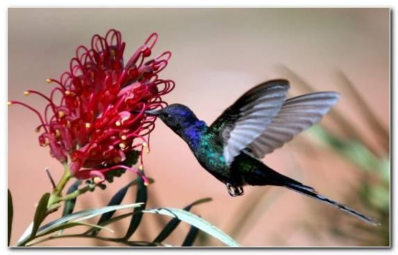 Image Pollinator Bird Flora Nectar Hummingbird
