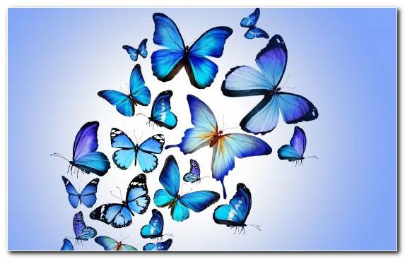 Image Pollinator Blue Butterfly Symmetry Blue Invertebrate