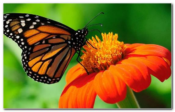 Image pollinator brush footed butterfly flower nectar inn