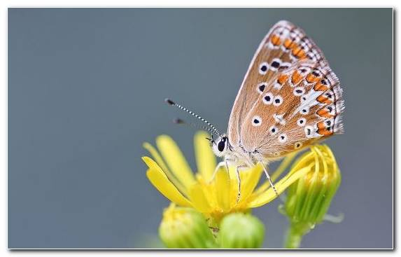 Image Pollinator Butterfly Monarch Butterfly Lycaenid Brush Footed Butterfly