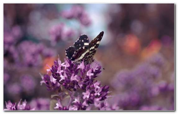 Image Pollinator Insect Lilac Butterfly English Lavender
