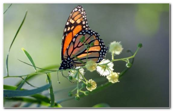 Image Pollinator Insect Monarch Butterfly Moths And Butterflies Invertebrate