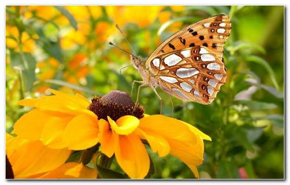 Image Pollinator Insect Moths And Butterflies Butterfly Brush Footed Butterfly
