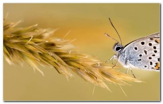 Image Pollinator Invertebrate Arthropod Butterfly Lycaenid