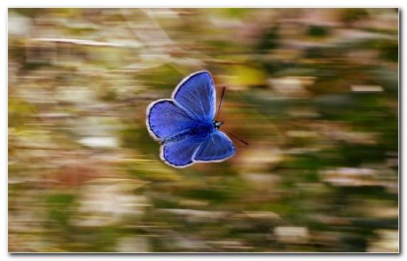 Image Pollinator Moths And Butterflies Lycaenid Wildlife Blue