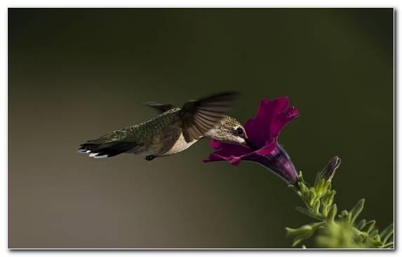 Image Pollinator Nectar Bird Flora Hummingbird