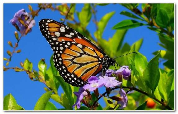 Image Pollinator Pieridae Invertebrate Monarch Butterfly Insect