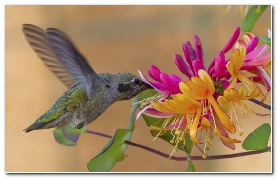 Image Pollinator Wildlife Hummingbird Flower Beak