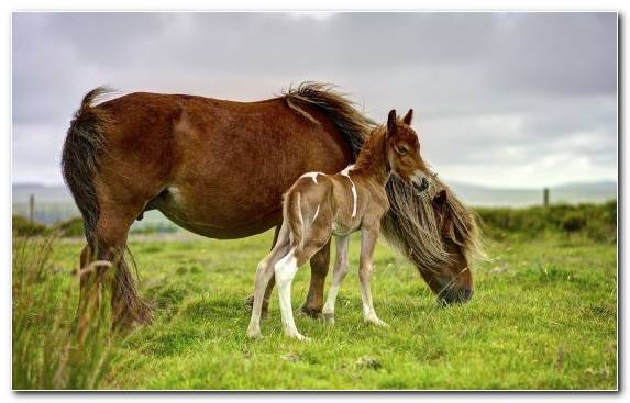 Image Pony Horse Mare Foal Shetland Pony