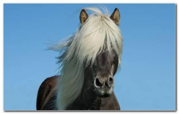 Image Pony Missouri Fox Trotter Horse Gait Fauna Icelandic Horse