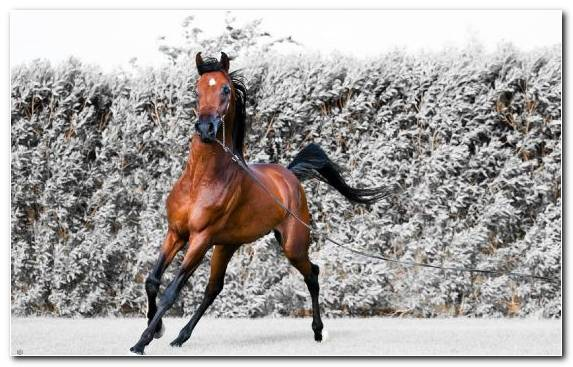 Image Pony Snow Thoroughbred Colt Mare