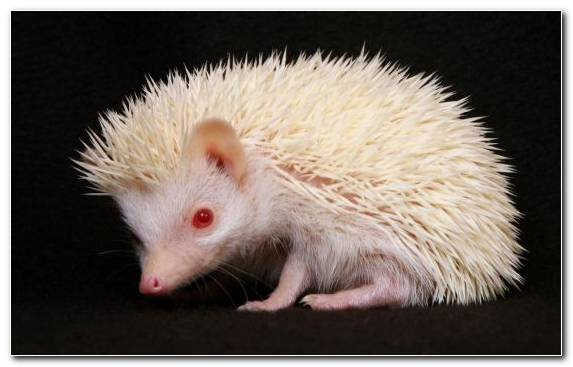 Image Porcupine Dog Like Mammal Snout Ferret Hedgehog
