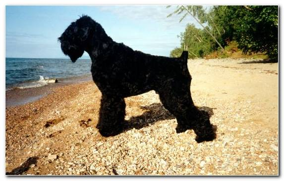 Image Portuguese Water Dog Water Dog Dog Like Mammal Black Russian Terrier Dog Crossbreeds