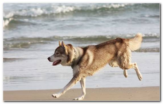Image Pug Saarloos Wolfdog Dog Breed Group Czechoslovakian Wolfdog Siberian Husky