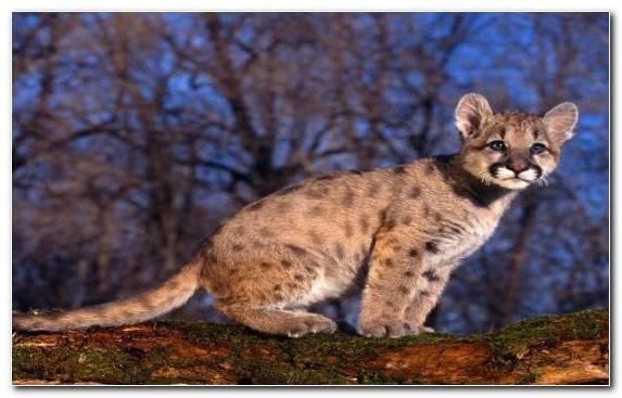 Image Puma Cat Moustache Felidae Desert
