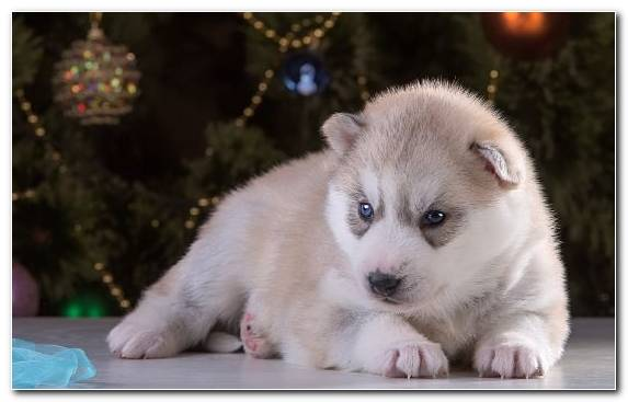 Image Puppy Siberian Husky Dog Breed Group Cuteness Sakhalin Husky