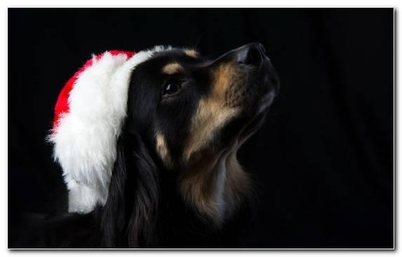 Image Puppy American Pit Bull Terrier Boxer Fur Bichon Frise