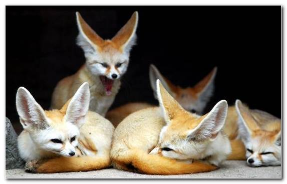 Image Puppy Canidae Kit Fox Fauna Wildlife