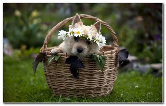 Image Puppy Dog Breed Basket Labrador Retriever