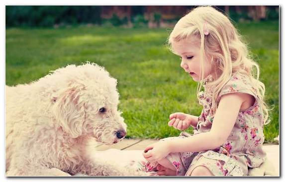 Image Puppy Dog Breed Goldendoodle Infant Dog Crossbreeds