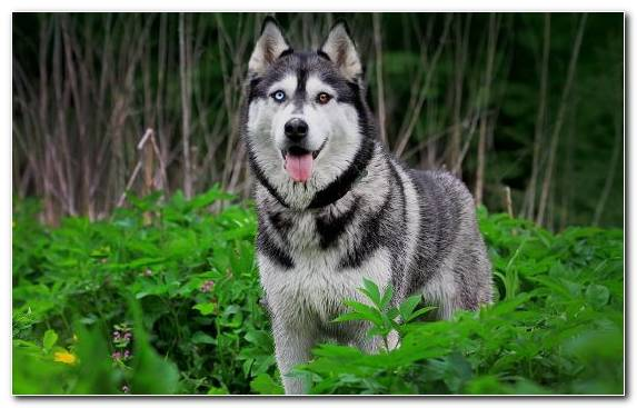 Image Puppy Dog Breed Group Alaskan Malamute The Siberian Husky Dog Breed