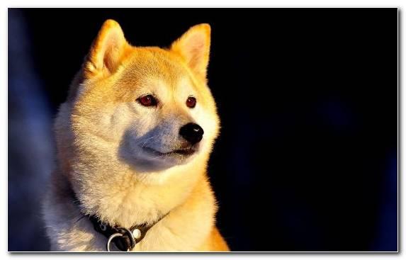 Image Puppy Dog Breed Group Korean Jindo Akita Mammal