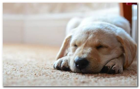Image Puppy Dog Cuteness Labrador Retriever Snout