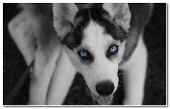 Image Puppy Dog Husky Siberian Husky Sakhalin Husky