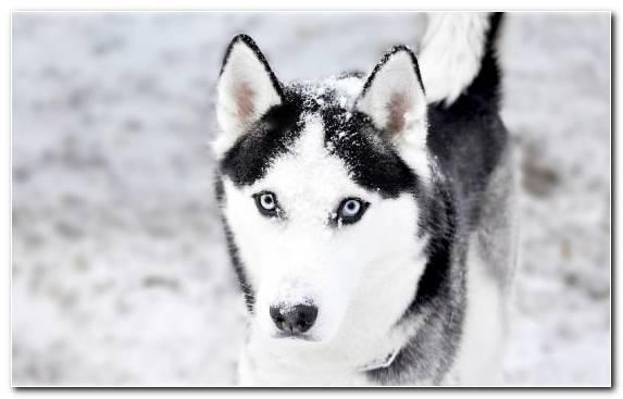 Image Puppy Dog Seppala Siberian Sleddog East Siberian Laika Husky