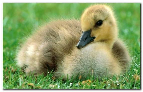 Image Puppy Duck Ducks Geese And Swans Goose Atlantic Puffin