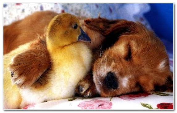 Image Puppy Face Beak Dog Spiez Golden Retriever