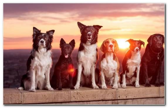 Image Puppy Flat Coated Retriever Retriever Dog Breed Border Collie