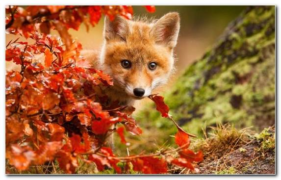 Image puppy fox dog like mammal dog leaf