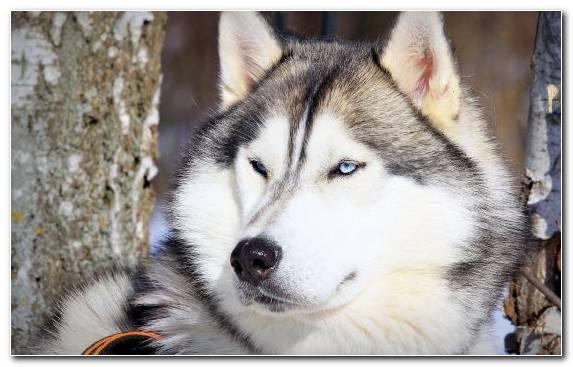 Image Puppy Husky Seppala Siberian Sleddog Sakhalin Husky Siberian Husky