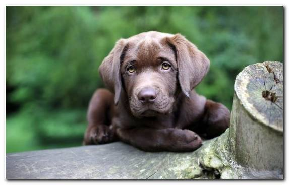 Image Puppy Labrador Retriever Dog Breed Snout Dog Like Mammal