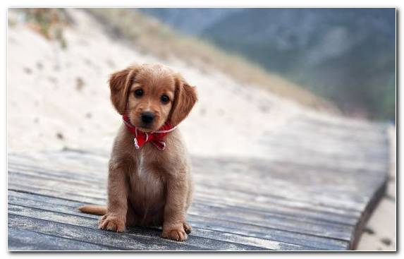 Image Puppy Labrador Retriever Puppy Love Dog Crossbreeds Snout