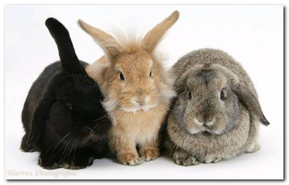 Image Puppy Netherland Dwarf Rabbit Hare Lionhead Rabbit Rabits And Hares