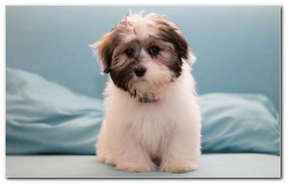 Image Puppy Pekingese Papillon Dog Bichon Samoyed Dog