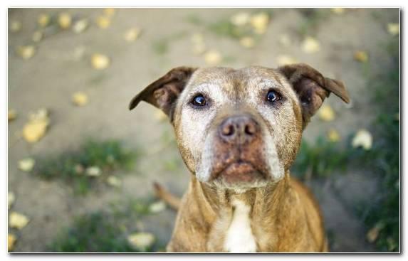 Image Puppy Pit Bull American Staffordshire Terrier Dachshund Labrador Retriever