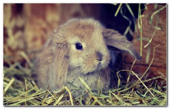 Image Puppy Rabbit Dwarf Rabbit Grasses Snout