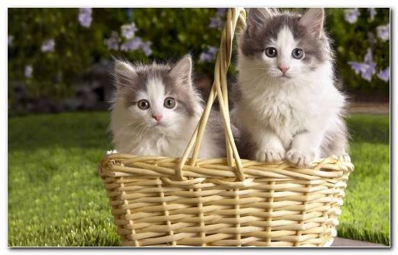 Image puppy ragdoll kitten siberian cat cuteness