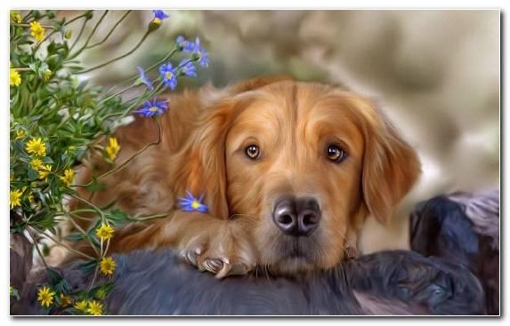 Image Puppy Retriever Dog Like Mammal Nova Scotia Duck Tolling Retriever Snout