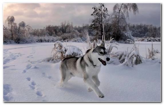 Image Puppy Sakhalin Husky Siberian Husky Basset Hound Labrador Retriever